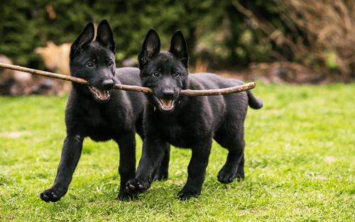 6 razões pelas quais dois cães são melhores que um