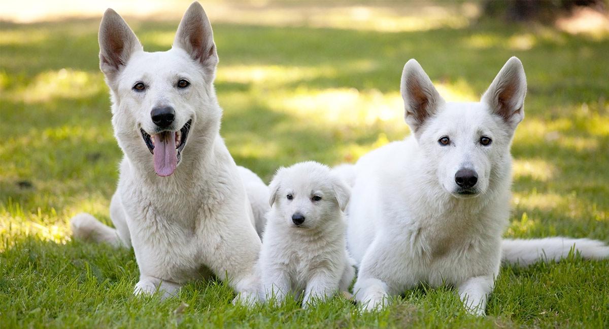 O pastor alemão branco é uma raça separada do pastor alemão padrão?