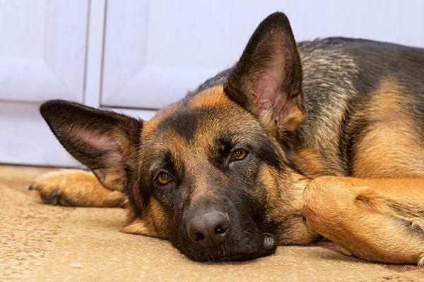Diarréia em cães: o que fazer se seu pastor alemão tem diarréia