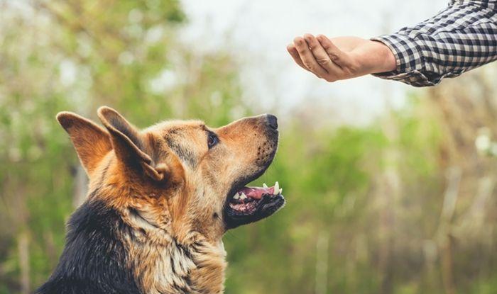 Os pastores alemães são fáceis de adestrar?