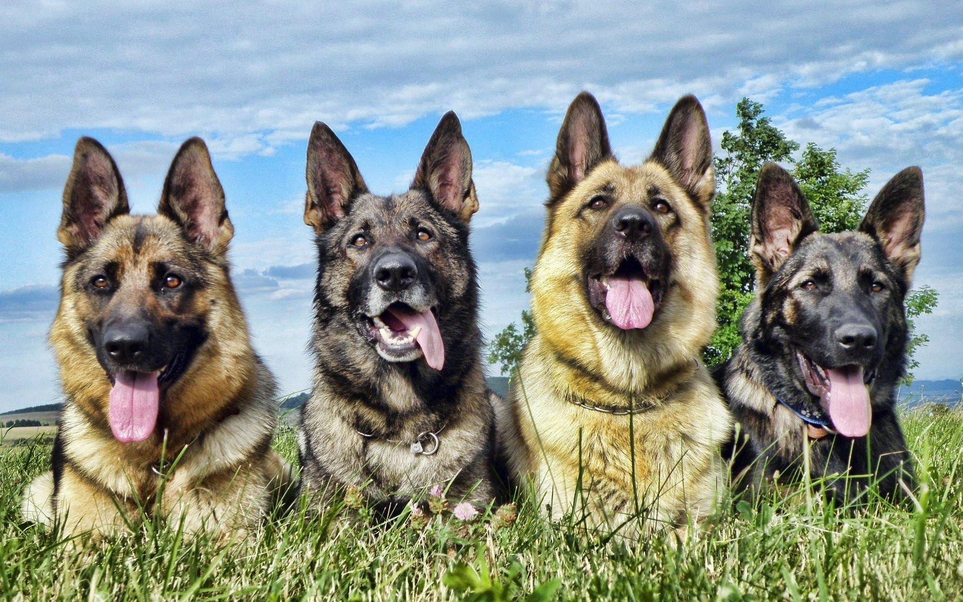 Nomes para cachorros Pastor Alemão